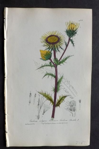 Baxter C1840 Hand Col Botanical Print. Common Carline Thistle 405
